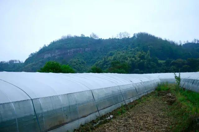 【点石计划】签约通道万佛山,10万斤绿色辣椒即将上架销售