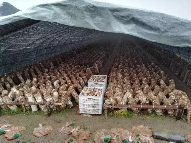 【点石计划】步步高集团全面采购湘乡金薮滞销香菇,解决贫困户燃眉之急